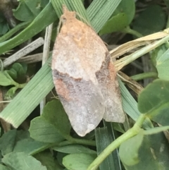 Epiphyas postvittana (Light Brown Apple Moth) at Lyneham, ACT - 23 Jul 2021 by MattFox