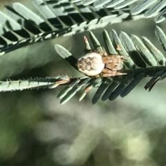 Araneus hamiltoni (Hamilton's Orb Weaver) at Holt, ACT - 18 May 2021 by MattFox