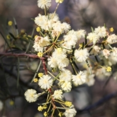 Acacia genistifolia (Early Wattle) at Bruce, ACT - 22 Jul 2021 by AlisonMilton