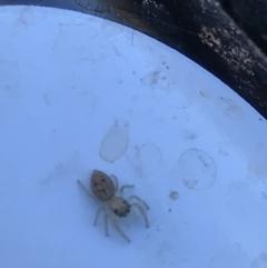 Unidentified Jumping & peacock spider (Salticidae) (TBC) at Hackett, ACT - 21 May 2021 by MattFox