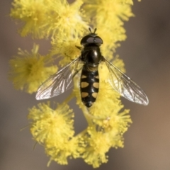 Melangyna viridiceps (Hover fly) at Bruce, ACT - 22 Jul 2021 by AlisonMilton
