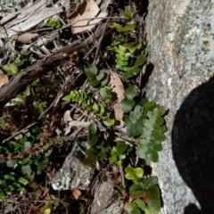 Pellaea calidirupium (Hot rock fern) at Boro, NSW - 21 Jul 2021 by Paul4K
