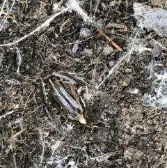 Limnodynastes peronii (Brown-striped Frog) at O'Connor, ACT - 24 Jul 2021 by MattFox