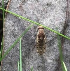 Unidentified True fly (Diptera) (TBC) at Holt, ACT - 18 Jul 2021 by MattFox