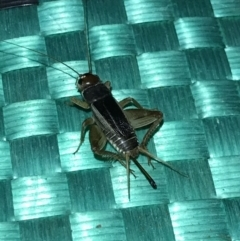 Unidentified Cricket (Orthoptera, several families) (TBC) at suppressed - 24 Jul 2021 by MattFox