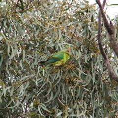 Polytelis swainsonii (Superb Parrot) at Throsby, ACT - 23 Jul 2021 by davobj