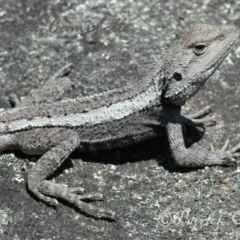 Amphibolurus muricatus (Jacky Lizard) at Blue Mountains National Park, NSW - 5 Dec 2006 by PatrickCampbell