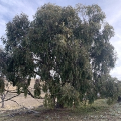 Eucalyptus dives (Broad-leaved Peppermint) at Corrowong, NSW - 22 Jul 2021 by BlackFlat