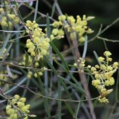 Acacia iteaphylla (TBC) at Wodonga, VIC - 25 Jul 2021 by Kyliegw