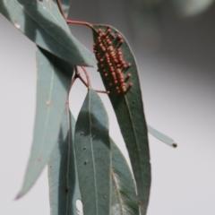 Apiomorpha sp. (genus) (TBC) at Wodonga, VIC - 25 Jul 2021 by Kyliegw