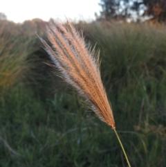 Chloris virgata (Feathertop Rhodes grass) at Isabella Plains, ACT - 4 Apr 2021 by michaelb