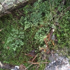 Adiantum aethiopicum (Common maidenhair fern) at Acton, ACT - 24 Jul 2021 by Ned_Johnston