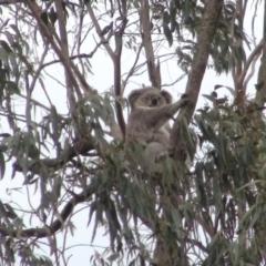 Phascolarctos cinereus (Koala) at Mittagong, NSW - 25 Nov 2019 by whitegaye