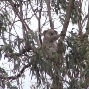 Phascolarctos cinereus at Mittagong, NSW - 25 Nov 2019