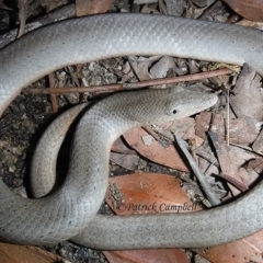 Lialis burtonis (Burton's Snake-lizard) at Blue Mountains National Park, NSW - 10 May 2014 by PatrickCampbell