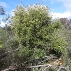 Olea europaea subsp. cuspidata (African Olive) at Majura, ACT - 25 Jul 2021 by WalterEgo