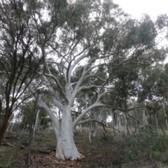 Eucalyptus rossii (Inland Scribbly Gum) at Downer, ACT - 25 Jul 2021 by WalterEgo
