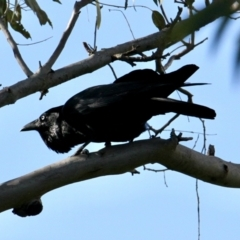 Corvus coronoides (Australian Raven) at Springdale Heights, NSW - 25 Jul 2021 by PaulF