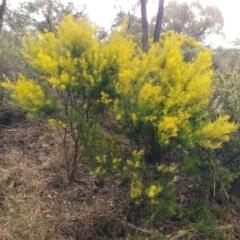 Acacia linearifolia (Narrow-leaved Wattle) at Hawker, ACT - 25 Jul 2021 by sangio7
