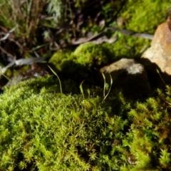 Unidentified Moss / Liverwort / Hornwort (TBC) at Jerrabomberra, NSW - 24 Jul 2021 by Paul4K