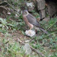 Accipiter fasciatus (Brown Goshawk) at Paddys River, ACT - 25 Jul 2021 by AdamHenderson