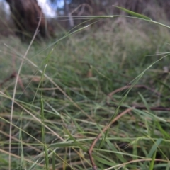 Microlaena stipoides (Weeping Grass) at Bruce, ACT - 11 Apr 2021 by michaelb