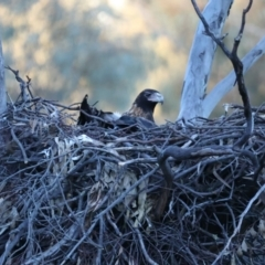 Aquila audax (Wedge-tailed Eagle) at Majura, ACT - 21 Jul 2021 by jbromilow50