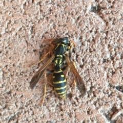 Polistes (Polistes) chinensis (Asian paper wasp) at Cobbitty, NSW - 26 Jul 2021 by Rigor722