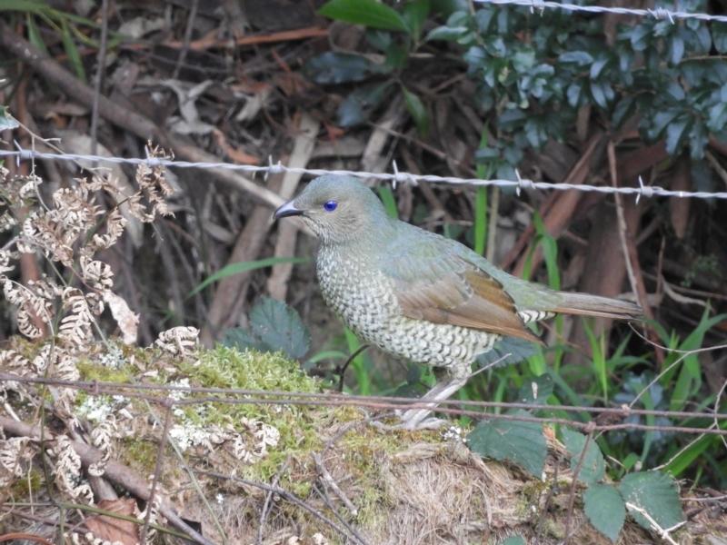 Ptilonorhynchus violaceus at Bundanoon, NSW - 20 Jul 2021