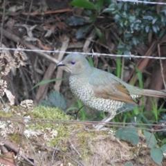 Ptilonorhynchus violaceus (Satin Bowerbird) at Bundanoon, NSW - 20 Jul 2021 by MatthewFrawley