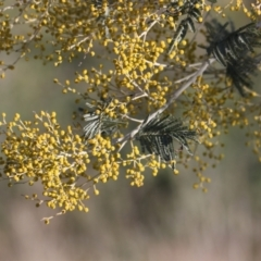 Acacia mearnsii (TBC) at suppressed - 21 Jul 2021 by PaulF
