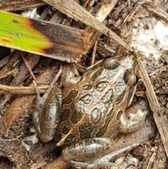 Limnodynastes tasmaniensis (Spotted Grass Frog) at Bruce, ACT - 27 Jul 2021 by tpreston