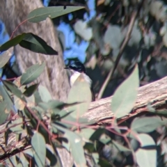 Myiagra inquieta (Restless Flycatcher) at Table Top, NSW - 27 Jul 2021 by Darcy