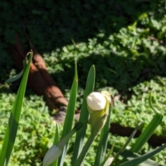 Narcissus jonquilla (Jonquil) at Table Top, NSW - 27 Jul 2021 by Darcy