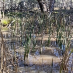 Typha sp. (Cumbungi) at Table Top, NSW - 27 Jul 2021 by Darcy