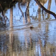 Anas superciliosa (Pacific Black Duck) at Table Top, NSW - 27 Jul 2021 by Darcy