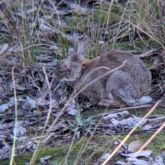 Oryctolagus cuniculus (European Rabbit) at Table Top, NSW - 27 Jul 2021 by Darcy