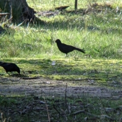 Corcorax melanorhamphos (White-winged Chough) at Table Top, NSW - 27 Jul 2021 by Darcy