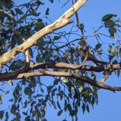 Manorina melanocephala (Noisy Miner) at Table Top, NSW - 27 Jul 2021 by Darcy