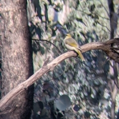 Ptilotula penicillata (White-plumed Honeyeater) at Table Top, NSW - 27 Jul 2021 by Darcy