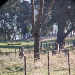 Macropus giganteus (Eastern Grey Kangaroo) at Table Top, NSW - 27 Jul 2021 by Darcy
