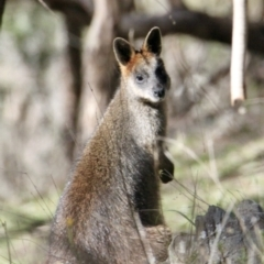 Wallabia bicolor (Swamp Wallaby) at Springdale Heights, NSW - 27 Jul 2021 by PaulF