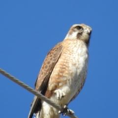 Falco berigora (Brown Falcon) at Tuggeranong DC, ACT - 30 Jul 2021 by HelenCross