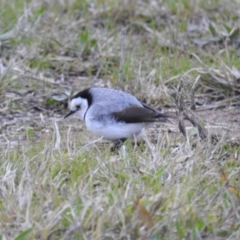 Epthianura albifrons (White-fronted Chat) at Molonglo, ACT - 30 Jul 2021 by HelenCross