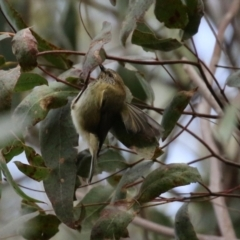 Acanthiza lineata (Striated Thornbill) at Paddys River, ACT - 27 Jul 2021 by RodDeb