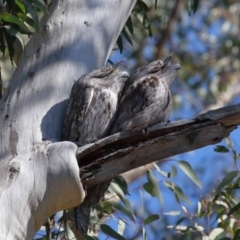 Podargus strigoides (Tawny Frogmouth) at Acton, ACT - 30 Jul 2021 by TimL