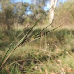 Themeda triandra (Kangaroo Grass) at Bruce, ACT - 11 Apr 2021 by michaelb