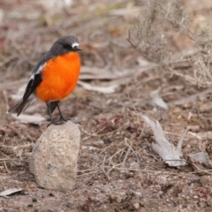 Petroica phoenicea (Flame Robin) at Rendezvous Creek, ACT - 27 Jul 2021 by Leo