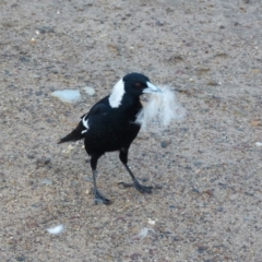 Cracticus tibicen (Australian Magpie) at Queanbeyan West, NSW - 30 Jul 2021 by Paul4K