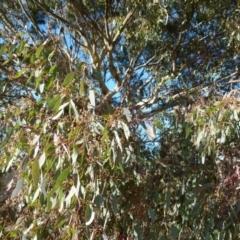 Eucalyptus polyanthemos (Red Box) at Queanbeyan West, NSW - 30 Jul 2021 by Paul4K